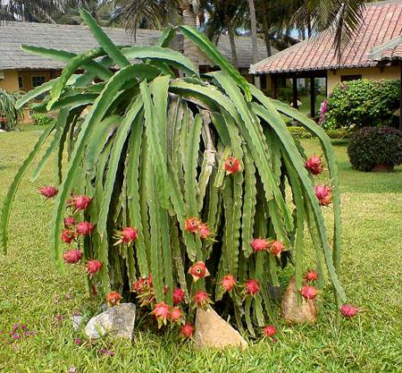 dragonfruit_tree.jpg
