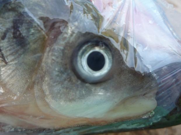 hal szeme.JPG