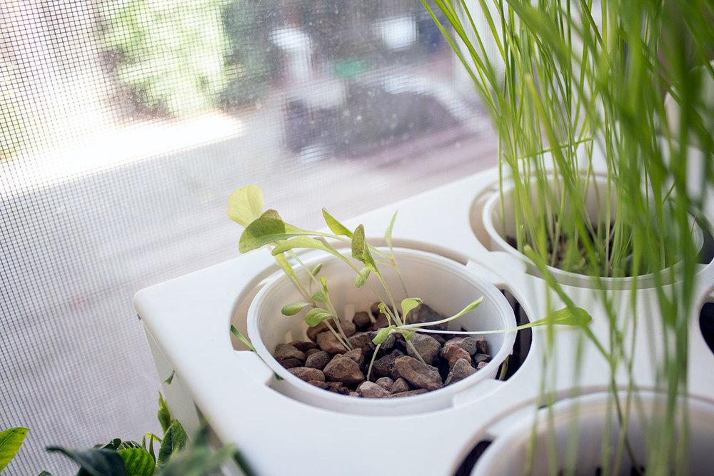 aquafarm_lettuce.jpg
