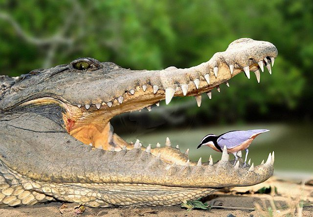 crocodile-plover.jpg