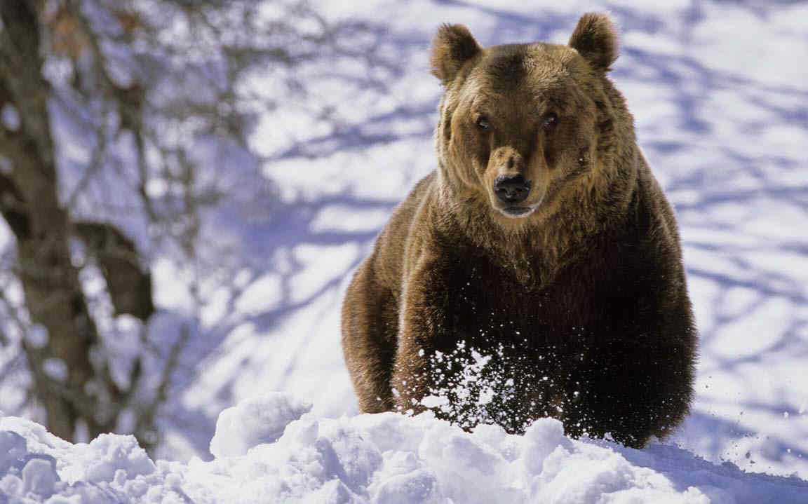marsican-brown-bear-in-the-snow-near-its-winter-den-photo-9.jpg
