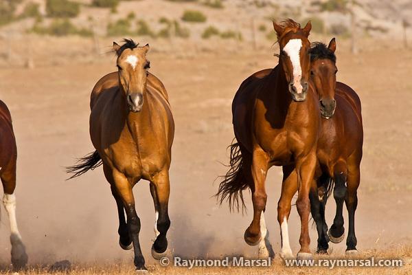 Galloping-horses.jpg
