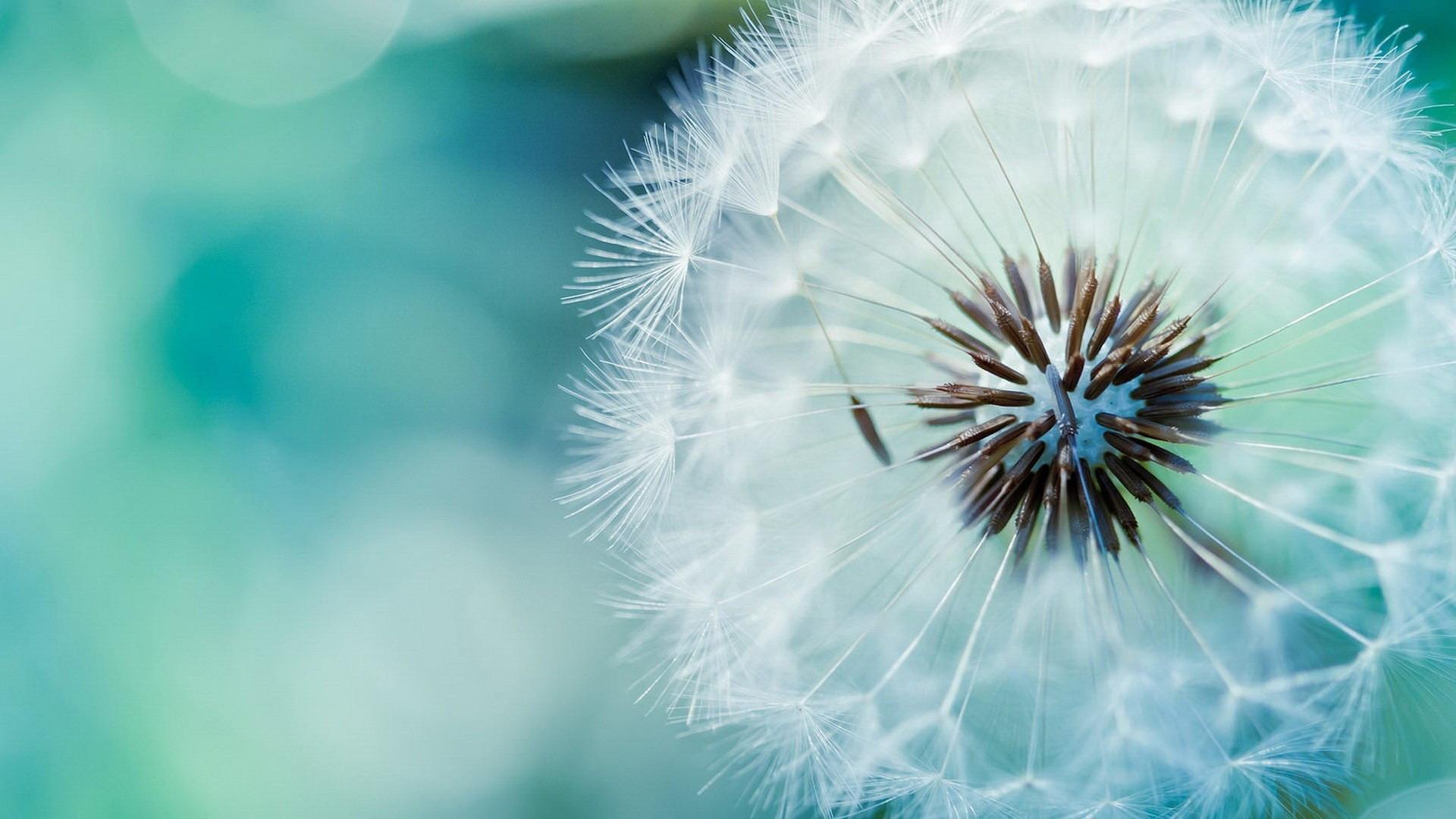 Nature-Ubuntu-Macro-Dandelions.jpg