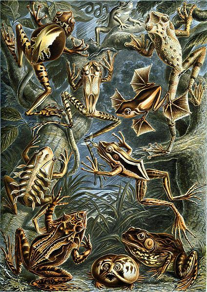 Haeckel_Batrachia.jpg
