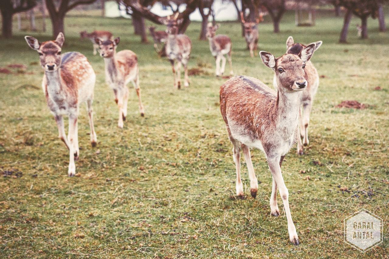 A répa, a bambi, meg a kettyós - szarvastúra Ausztriában