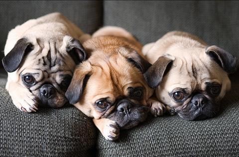 mopsz_dogs.jpg