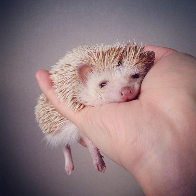 darcytheflyinghedgehog1.jpg