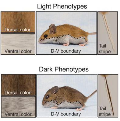 peromyscus_phenotypes.jpg