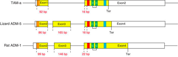 TAM-ADM-gene_structure.jpg