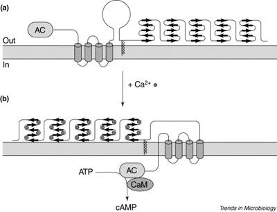 CyA-1.jpg