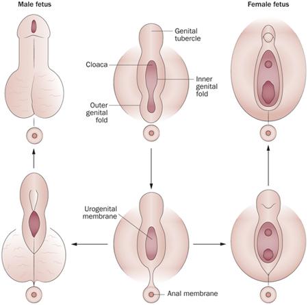 mi a pénisz