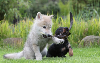 wolf_dog_puppies.png