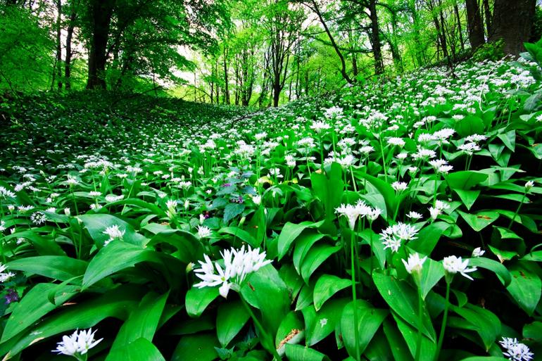 stockfresh_818273_wild-garlic-forest_sizeS.jpg