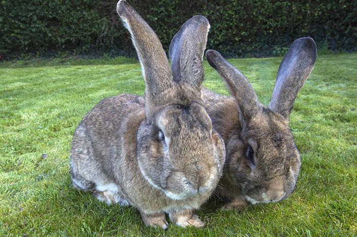 worlds-largest-rabbit-darius-jeff-2.jpg