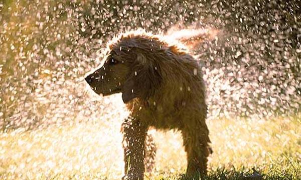 Dog-shaking-off-water-001.jpg