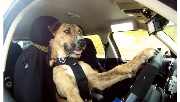 dog-driving.jpg