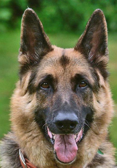 german-shepherd-dogs-24132551-450-647.jpg