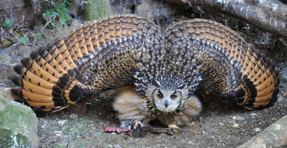 eagle_owl.jpg