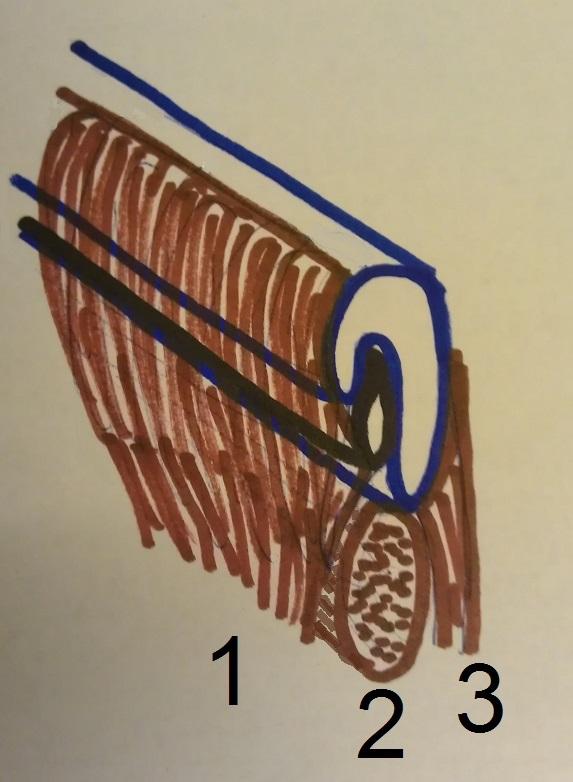 eustachian tube muscles 2_1.jpg