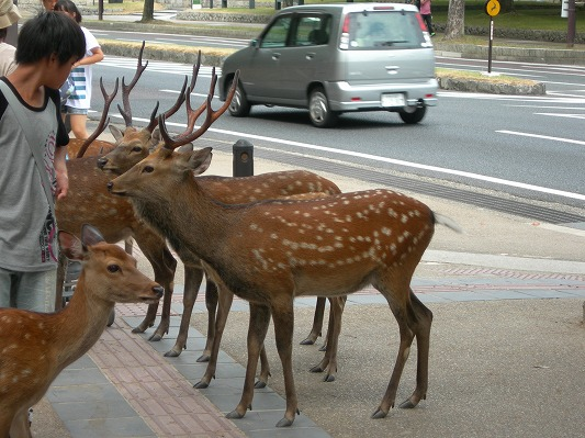 Hostel in Kyoto, deer in Nara2.jpg