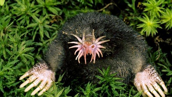 star-nosed-mole_0.jpg
