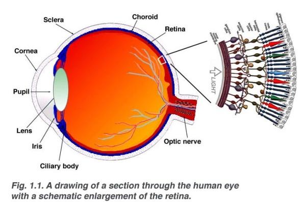 látás neuronok erőteljes gyakorlatok a látás helyreállítására