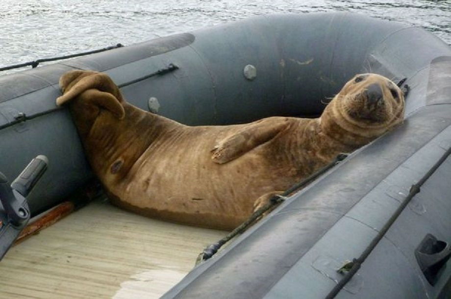 The-seal-in-the-dinghy-2898693.jpg