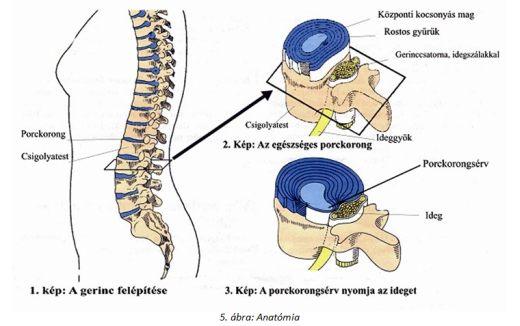 gerinces_porckorong_anatomia_blog.jpg