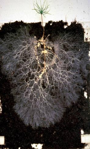 mikorrhiza greenr.jpg