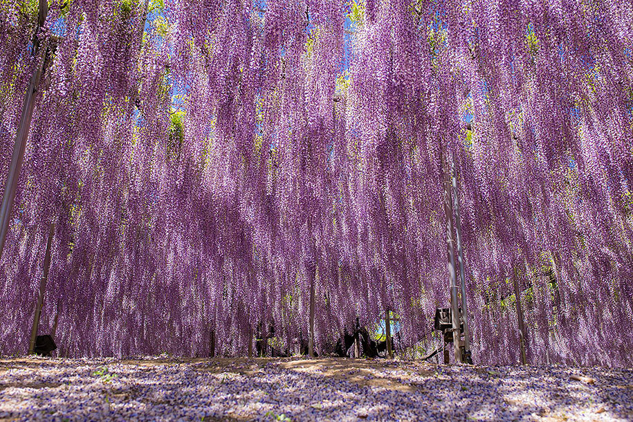 large-old-wisteria-bloom-japan-11.jpg