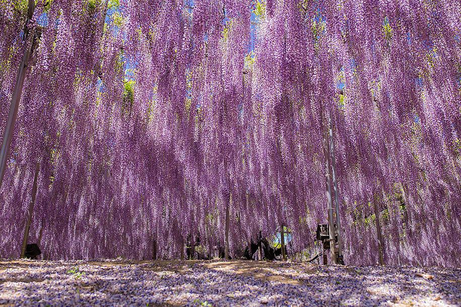 large-old-wisteria-bloom-japan-11.jpg