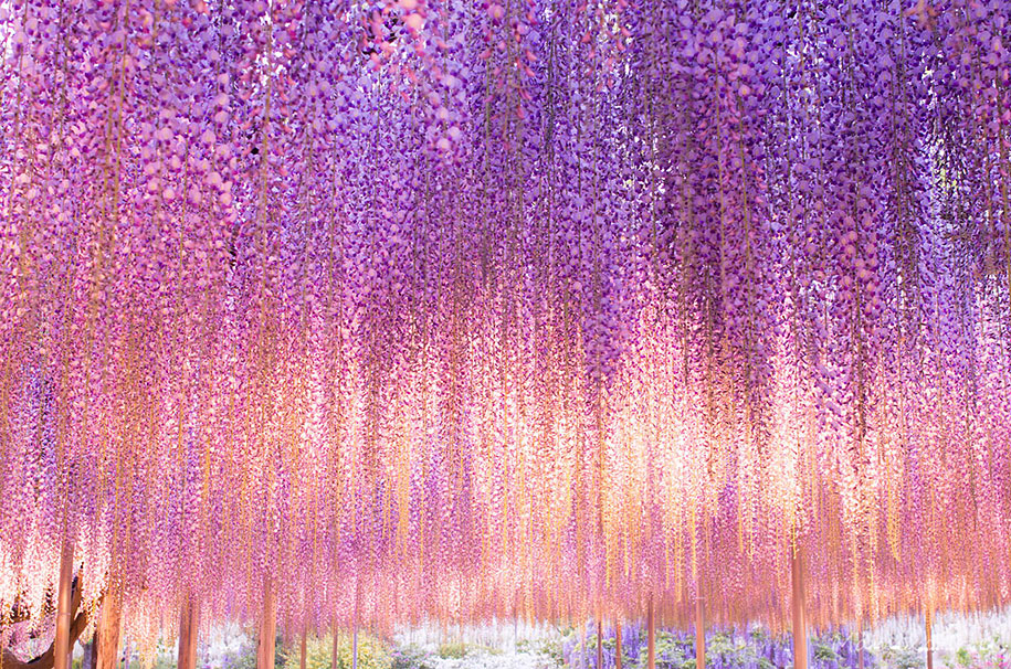 large-old-wisteria-bloom-japan-3.jpg