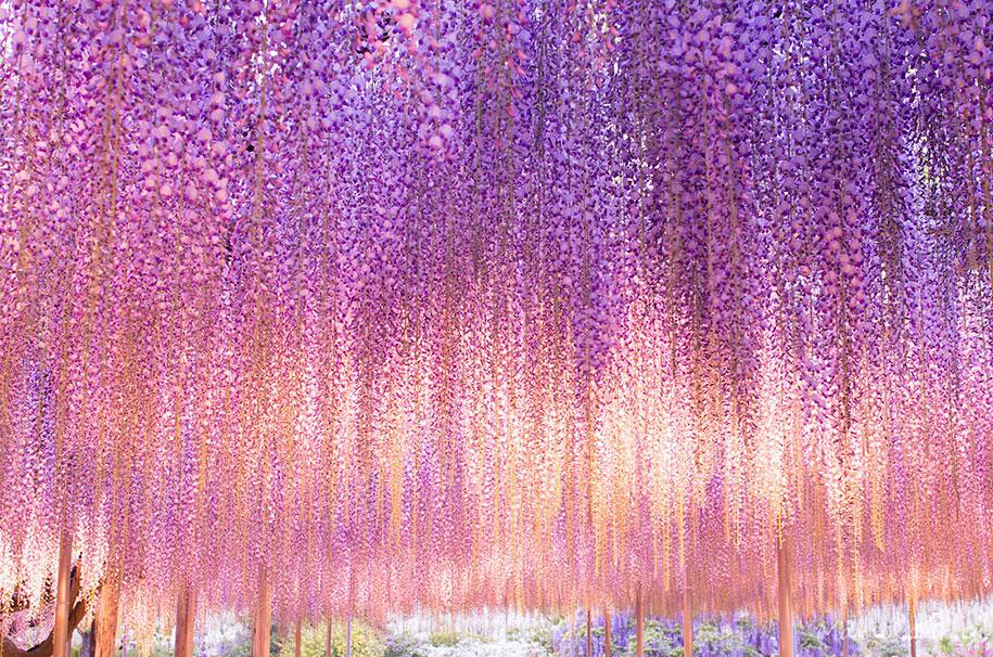 large-old-wisteria-bloom-japan-3.jpg