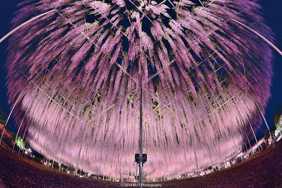 large-old-wisteria-bloom-japan-4.jpg