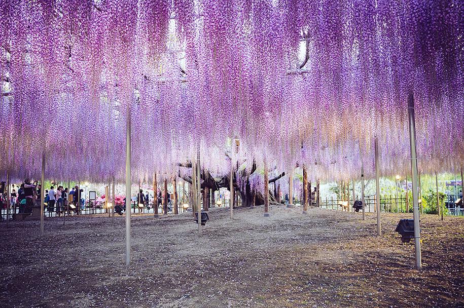 large-old-wisteria-bloom-japan-5.jpg