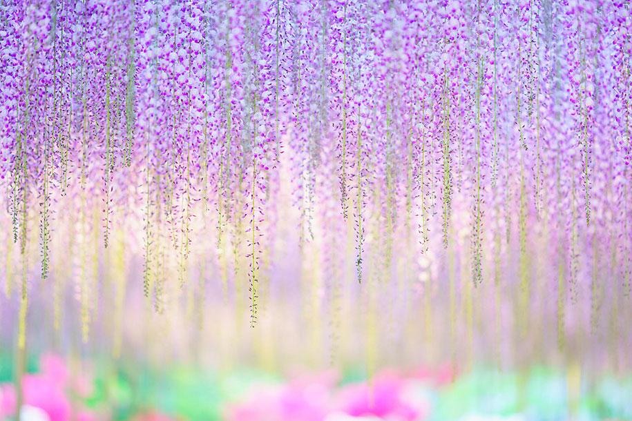large-old-wisteria-bloom-japan-8.jpg