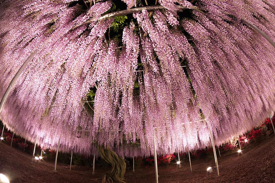 large-old-wisteria-bloom-japan-9.jpg