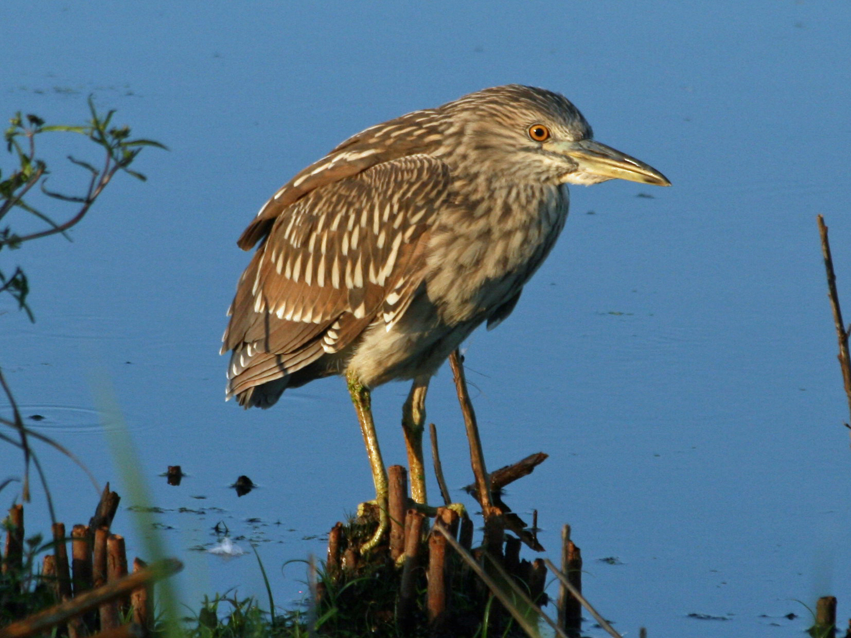black-crowned_night_heron_nycticorax_nycticorax_rwd1.jpg
