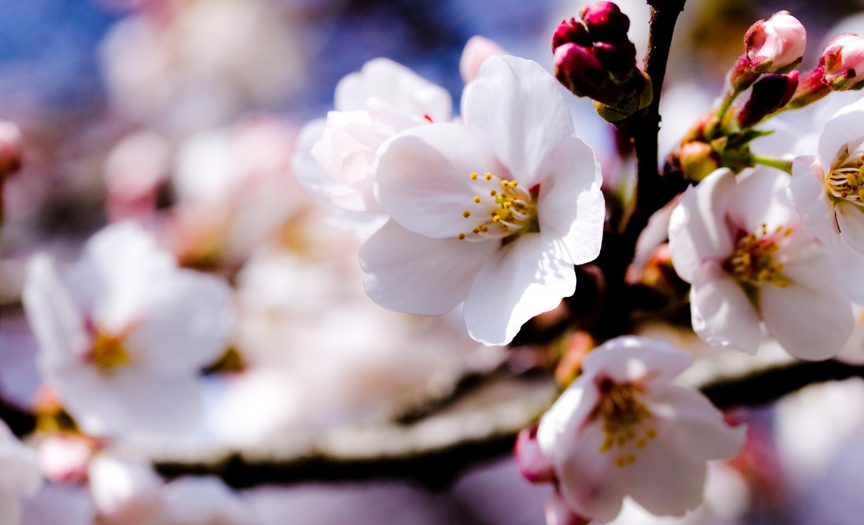 white_spring_flowers_on_a_tree_branch-wallpaper-1920x1080-masolata.jpg
