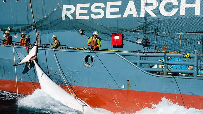 023180-australia-japan-whaling.jpg