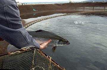 a-farmed-salmon_efodcrc3qeo2.jpg