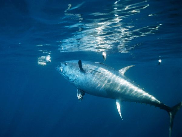 bluefin-tuna_478_600x450.jpg