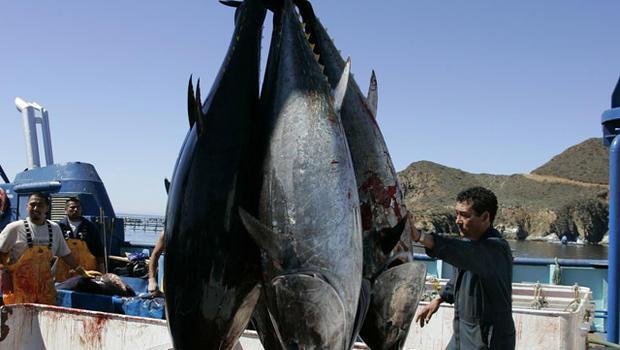 bluefin_tuna-AP070305143086.jpg