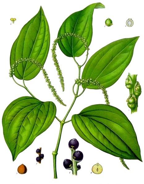 piper_nigrum_-_kohler_s_medizinal-pflanzen-107.jpg