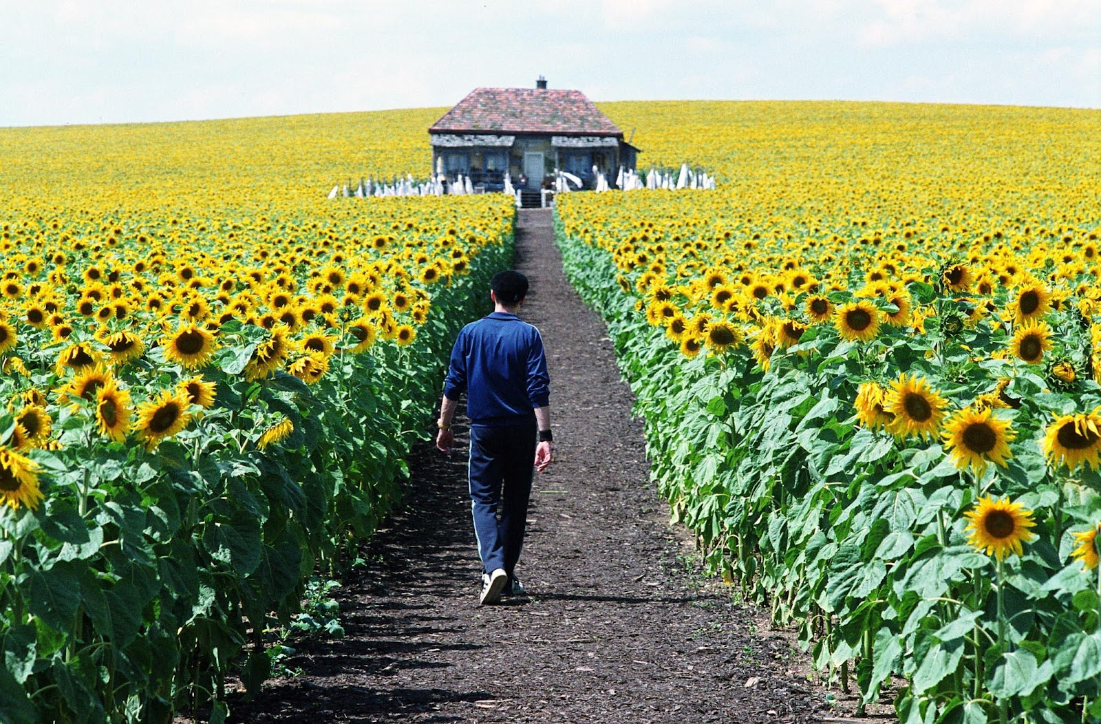 The Sunflower Fields Of The Czech Republic Tres Bohemes