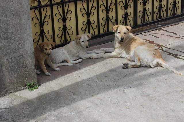 Kóbor kutyák Addiszban.  Egész Etiópia tele van velük, néhány városban mérgezett hússal próbálják visszaszórítani a számukat._2592x1728.jpg