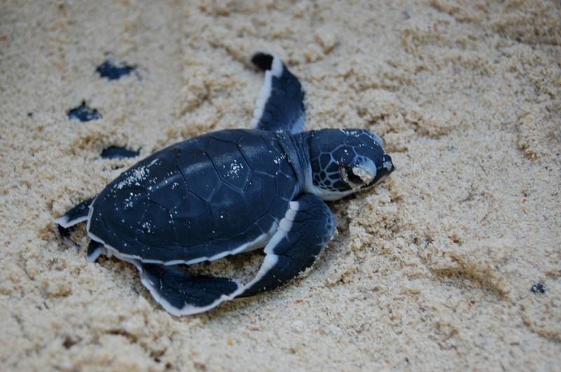 Frissen kikelt tengeri teknősbébi
