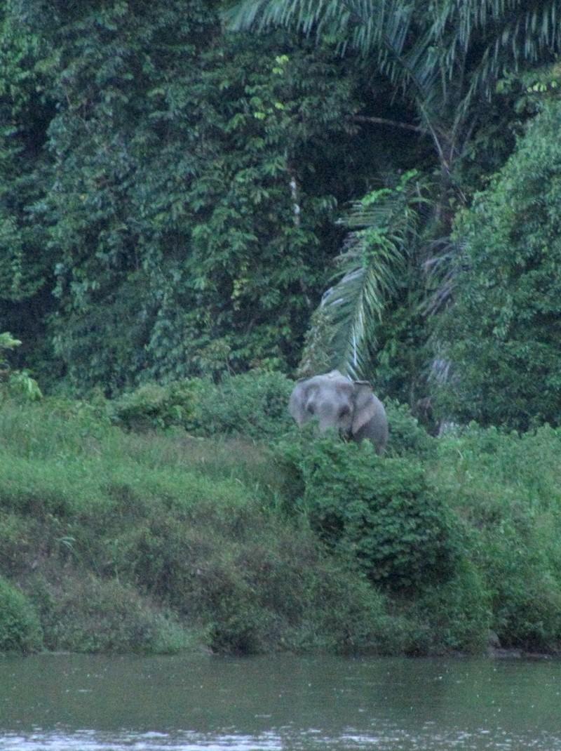 Vadelefánt a dzsungelben