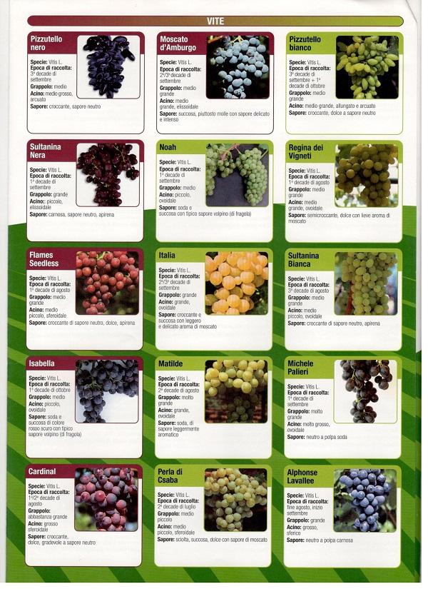 szőlőfajták
