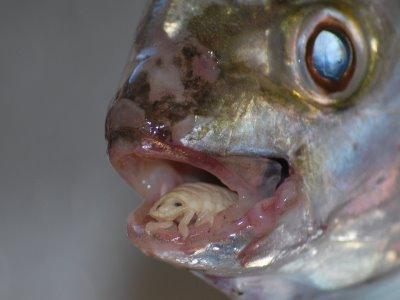 Mely halak nem rendelkeznek parazitákkal és férgekkel